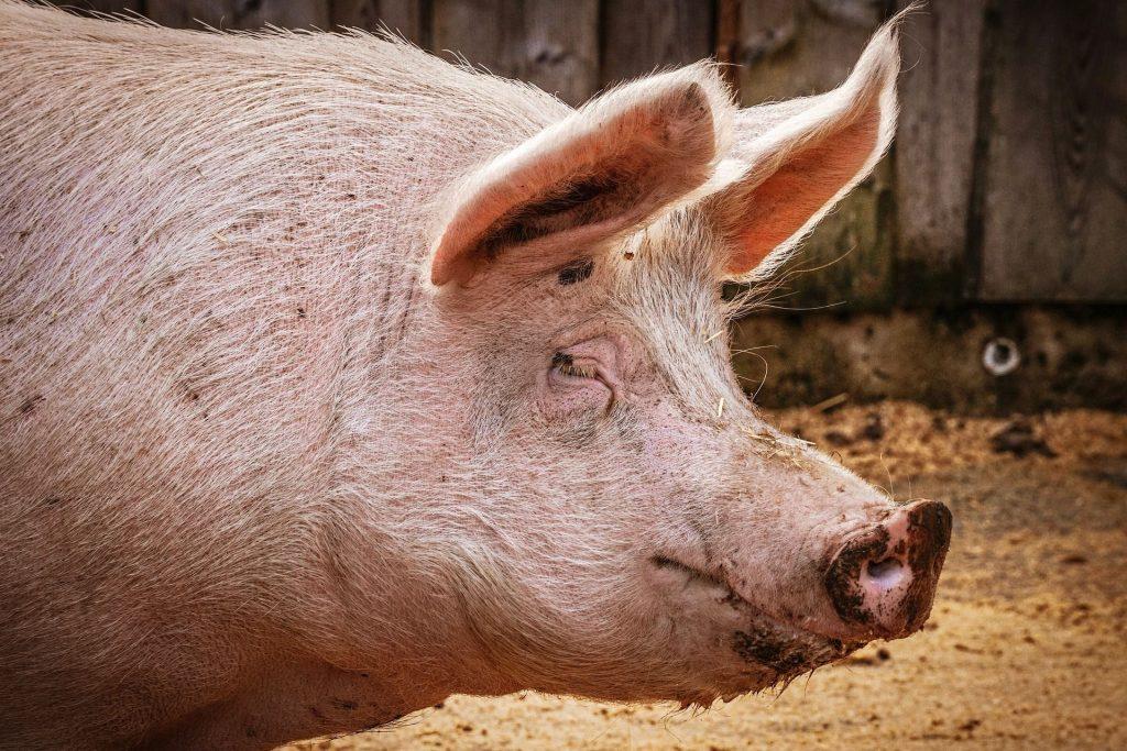 cerdo adulto fresco