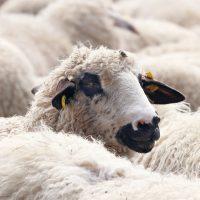 La carne de cordero es un alimento sostenible, sano y saludable